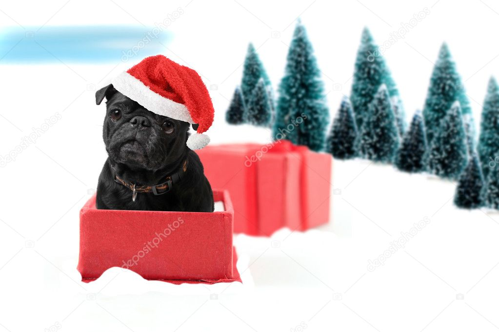 Black  christmas pug inside a present box on snow wearing a red Santa hat with winter trees on a white background — Stock Photo #4223304