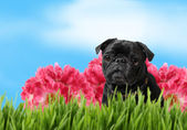 Black pug with colorful spring nature — Stock Photo