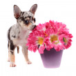 Chihuahua smelling the flowers — Stock Photo