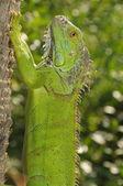 Iguana — Photo