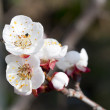 Prunus Domestica inflorescence close-up — Stock Photo