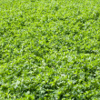 A white clover field, Trifolium repens — Stock Photo
