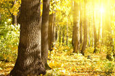 Wood oak sun — Stock Photo