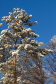 Tree snow pine — Stock Photo