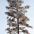 Tree  pine  winter — Stock Photo