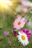 Flowers camomiles glade — Stock Photo