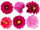 Flowers peonies dahlias herbarium — Stock Photo
