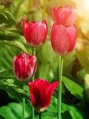 Flowers tulips flowering — Stock Photo
