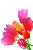 Fioritura petali di fiori tulipani flwering — Foto Stock