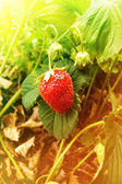 Berries wild strawberry — Stock Photo