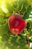 Fruit apples red tree — Stock Photo