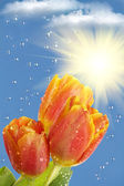 Flowers tulips sun rain clouds — Stock Photo