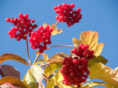 Berries autumn, red guelderrose — Stock Photo