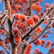 Stock Photo: Small red frosen apples