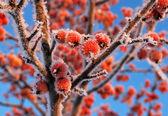 Küçük kırmızı eti elma — Stok fotoğraf