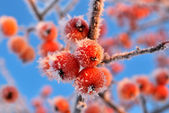 Small apples in frost — Stock Photo