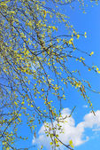 Birch leaves against blue sky — Stock Photo