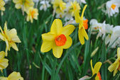 Spring. Daffodils — Stock Photo
