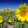Sunflowers on a Tuscan Meadow — Stock Photo
