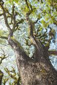 Texture di alberi barbuto mossman, australia — Foto Stock