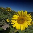 Sunflowers on a Tuscan Meadow - Stock Photo
