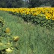 Sunflowers Meadow in Tuscany — Stock Photo #4254653