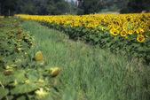 Slunečnice louka v toskánsku — Stock fotografie