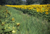 Sunflowers Meadow in Tuscany — Stock Photo