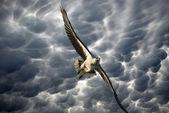 Eagle in the Stormy Sky, Australia — Stock fotografie