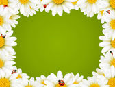 Camomile Floral Frame — Stock Vector