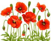 Spring flowers: poppy — Stock Vector