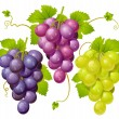 Royalty-Free Stock Vector Image: Three cluster of grapes