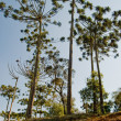 Araucaria tall — Stockfoto