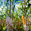 Maize Crop — Stock Photo #5351725