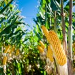 Maize Crop — Stock Photo #5351733