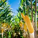 Maize Crop — Stock Photo #5351733