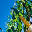 Maize Crop — Stock Photo #5351741