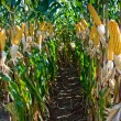 Stock Photo: Maize Crop