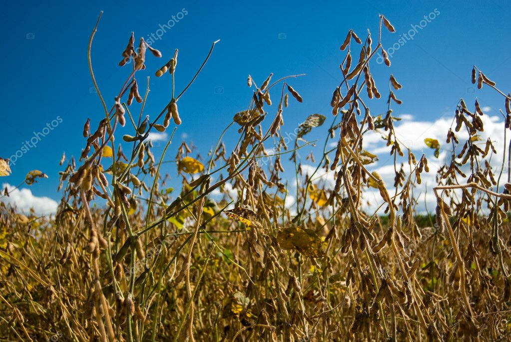 Soy is a rich grain in proteins, cultivated as food in such a way for human beings how much for animals. — Stock Photo #5351658