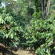 Robusta Coffee Plants — Stock Photo