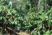 Robusta Coffee Plants — Stock Photo