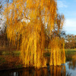 Willow tree (Salix) in a park in warm colors of sunset, Olexandr — Stock Photo