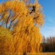 Stock Photo: Willow tree (Salix) in park in warm colors of sunset, Olexandr