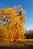 Willow tree (Salix) in a park in warm colors of sunset, Olexandr — Stockfoto