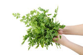 Bunch of parsley in a hand isolated on the white background — Stock Photo