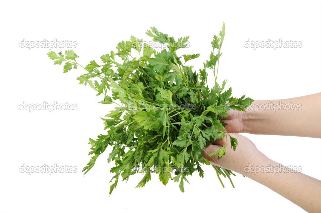 Bunch of parsley in a hand isolated on the white background — Stock Photo #4668672