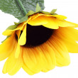 Stock Photo: Beautiful sunflower, isolated on white background