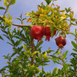 Crimson pomegranate - Stock Photo
