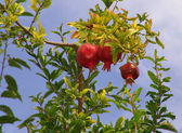 Crimson pomegranate — Stock Photo