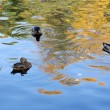 Stock Photo: Ducks in autumn water